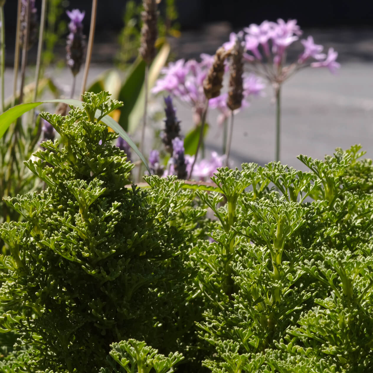 planta-nativa-chile-tallotaller-