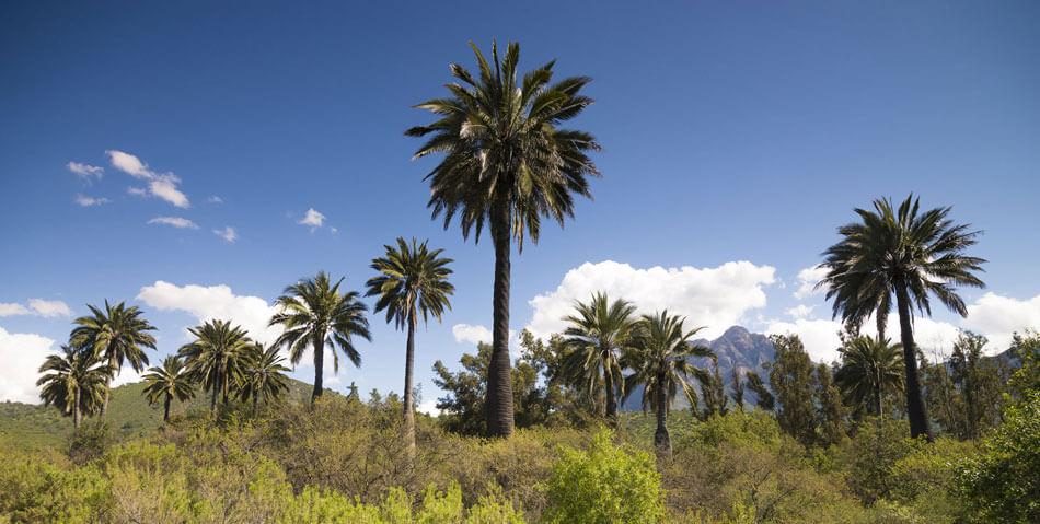 palma-chilena-jubaea-chilensis-tallotaller