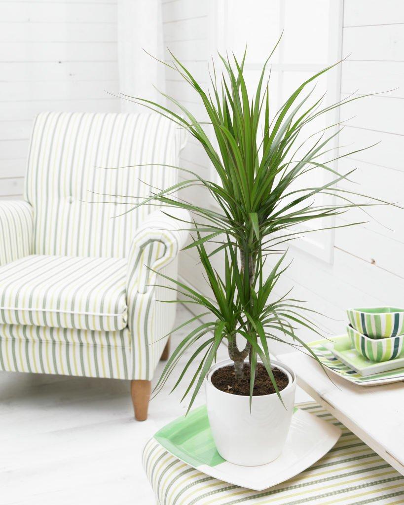 Dracena-marginata-plantas-de-interior-grandes-Tallo-Taller