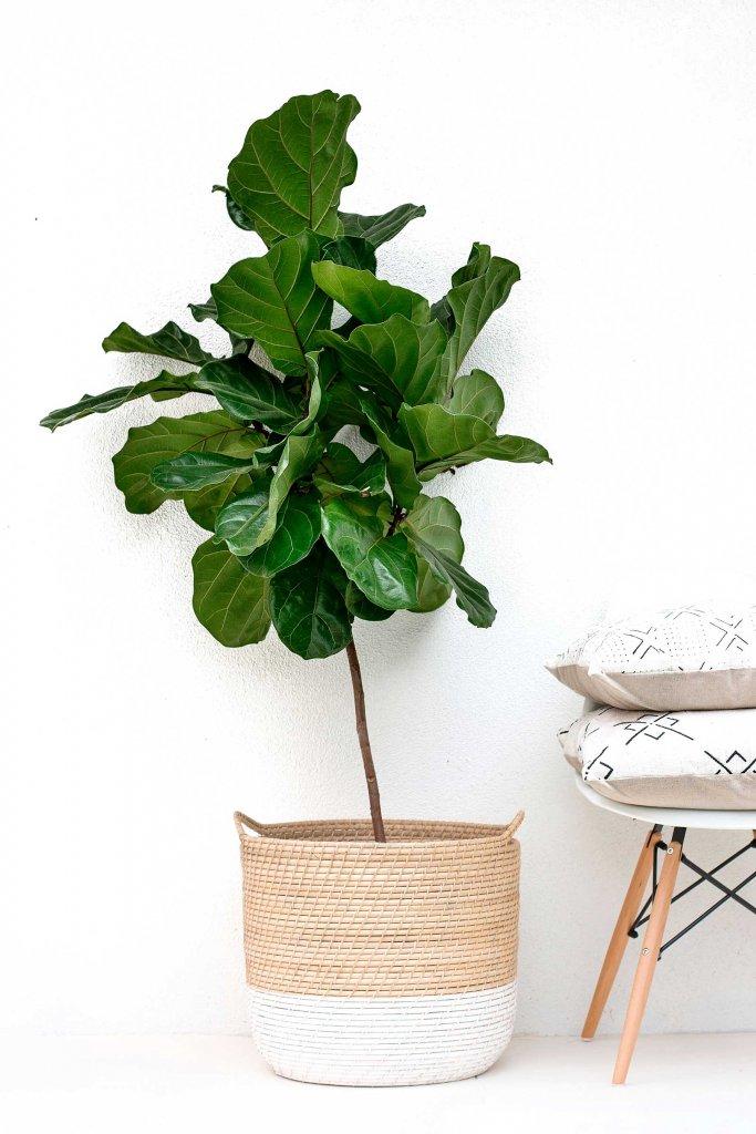 Ficus-lyrata-plantas-de-interior-grandes-Tallo-Taller