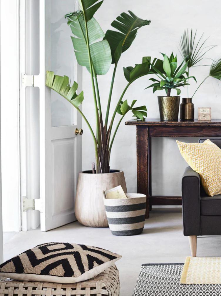 Musa-paradisiaca-plantas-de-interior-grandes-Tallo-Taller