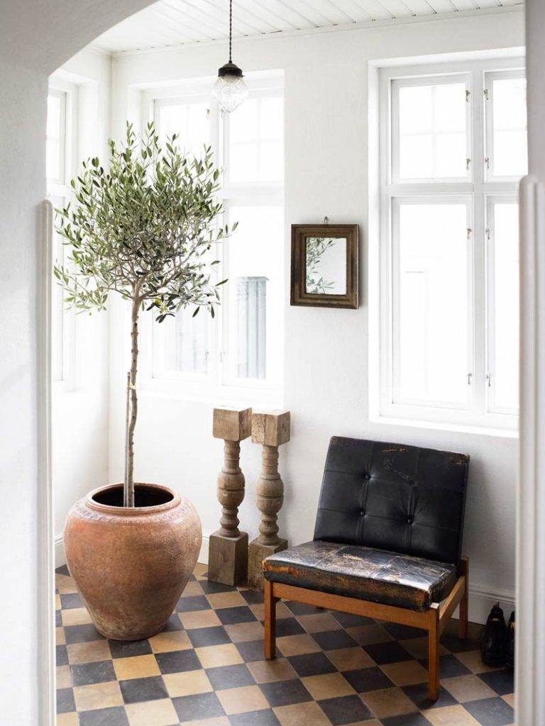 Olea-europea-plantas-de-interior-grandes-Tallo-Taller