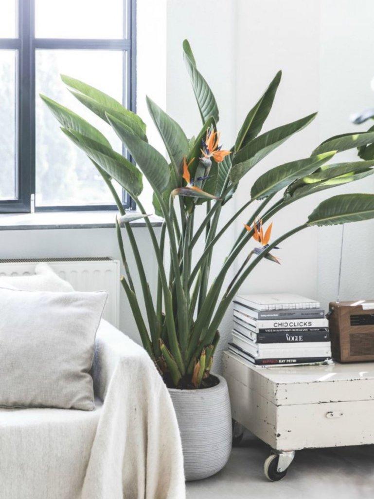 Strelitzia-reginae-plantas-de-interior-grandes-Tallo-Taller