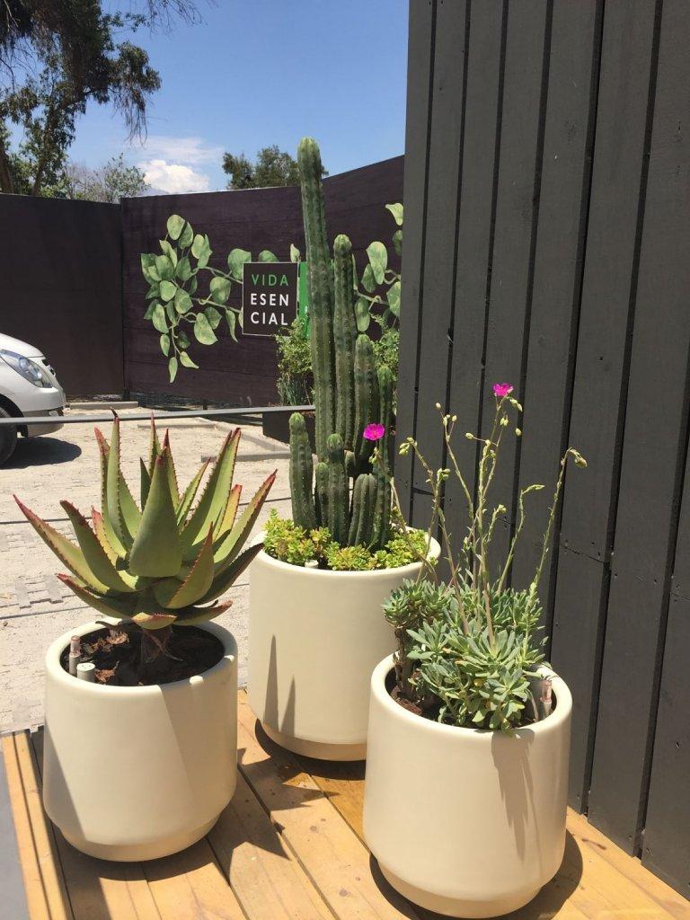 Cactus y suculentas en trío de maceteros de diferentes tamaños. Cactus San Pedro, Aloe y Pata de guanaco.