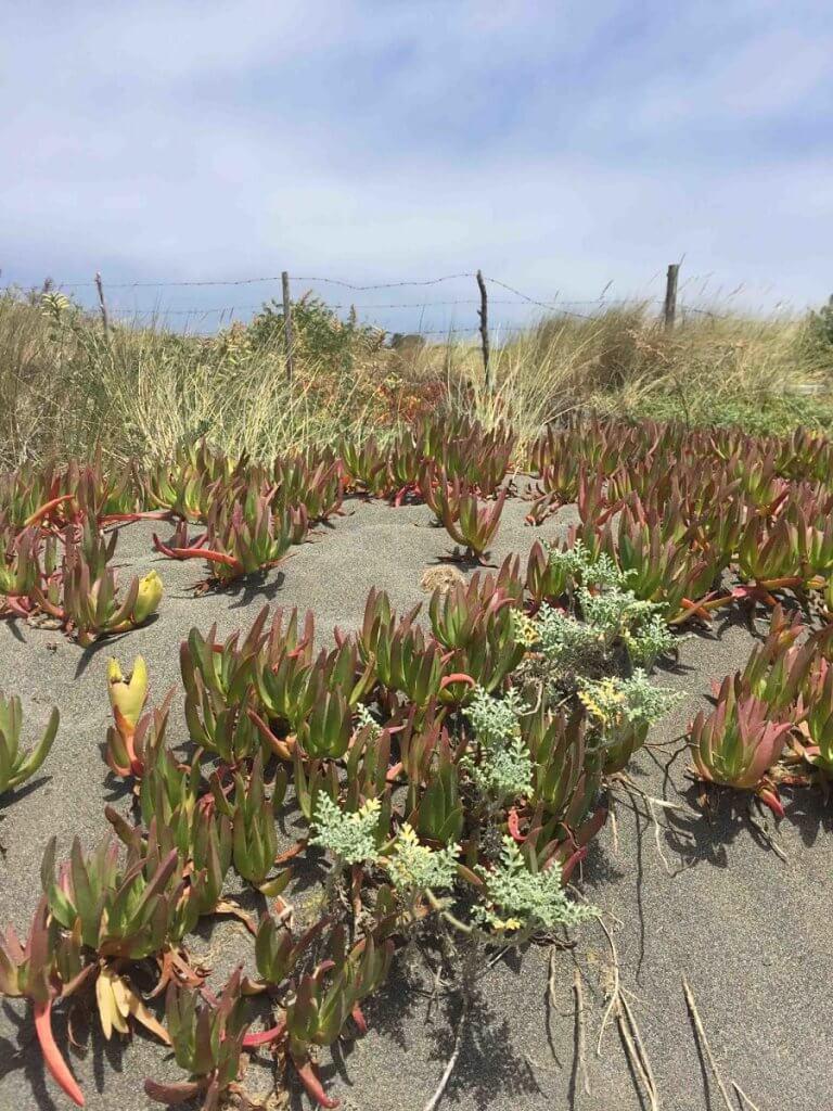 Límite natural del Jardín Cervecero con la arena de la playa. Se observan docas y gramíneas que forman colchones naturales.