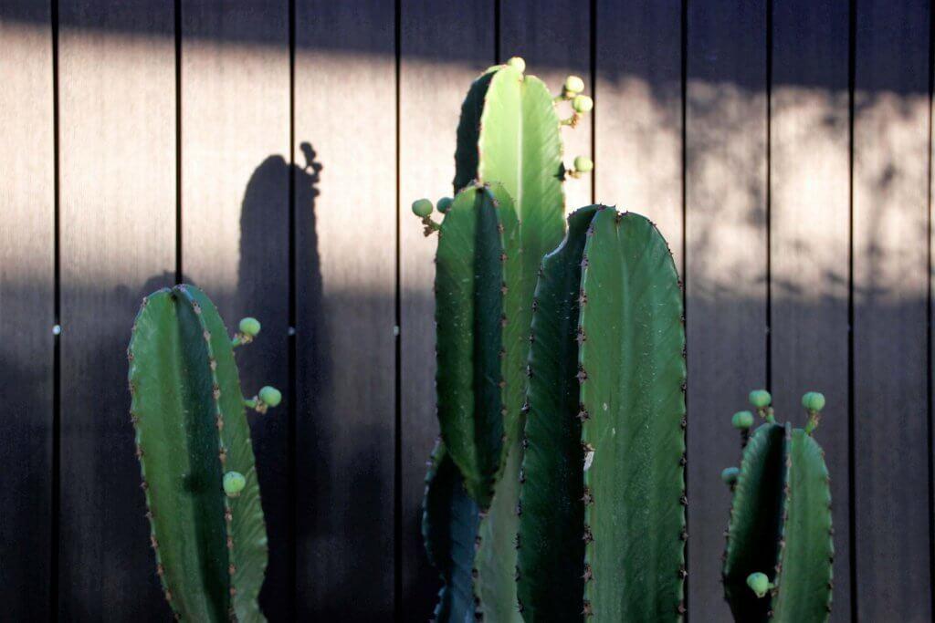 Detalle de los brazos de una Euphorbia candelabrum
